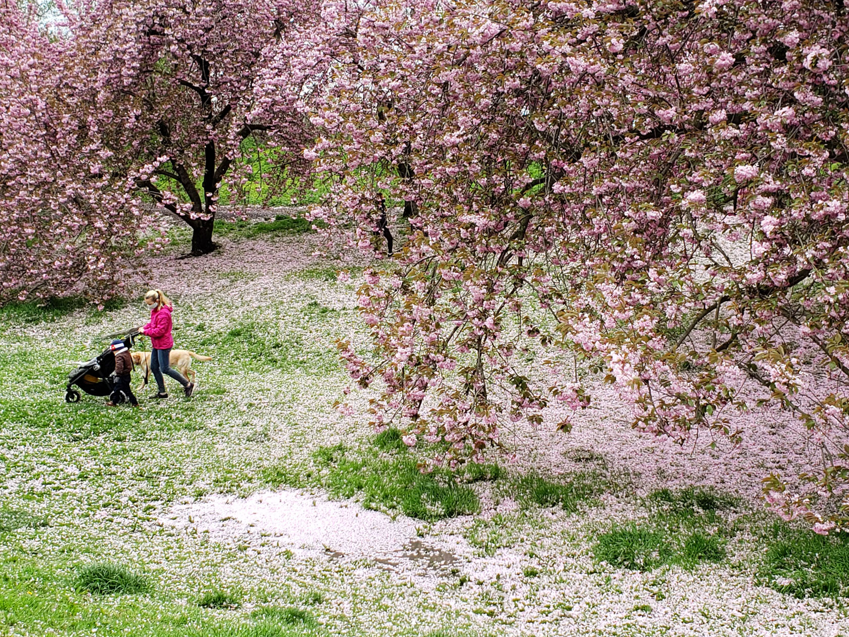 043020-cherry blossoms-woman with stroller-small