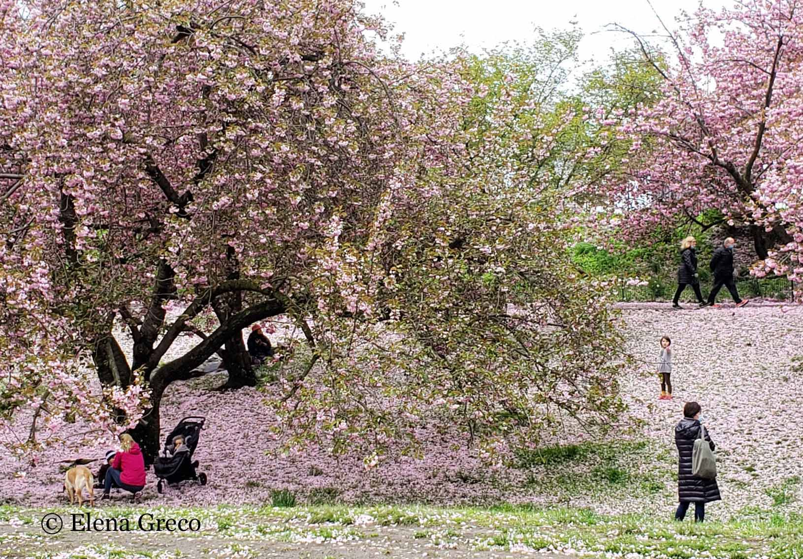 ElenaGreco-043020-cherry blossoms-people2-cropped-wm