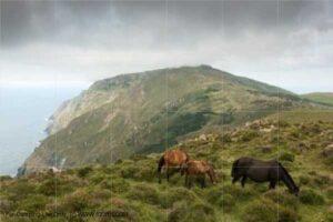 Galician horses