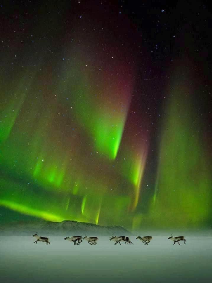 reindeer northern green lights